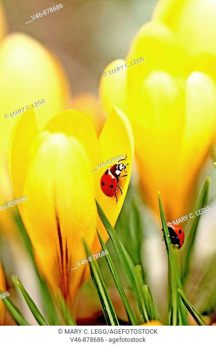 Ladybird beetles on crocus  Coccinella septempunctata  A pair of Seven spot Ladybird beetles explore the denizens of crocus in a spring garden  One is inside a...
