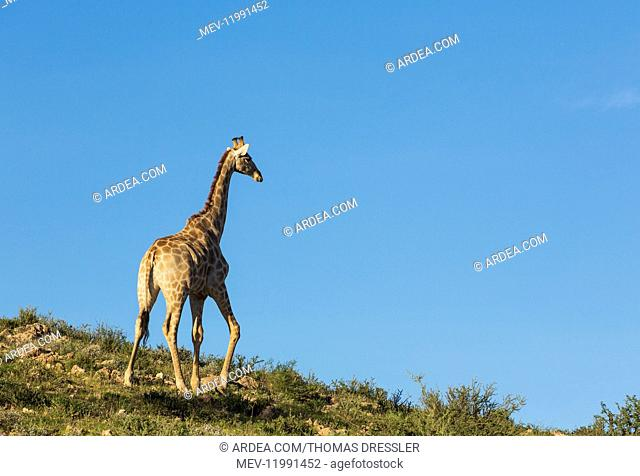 Southern Giraffe - male - roaming in the evening - Kalahari Desert, Kgalagadi Transfrontier Park, South Africa