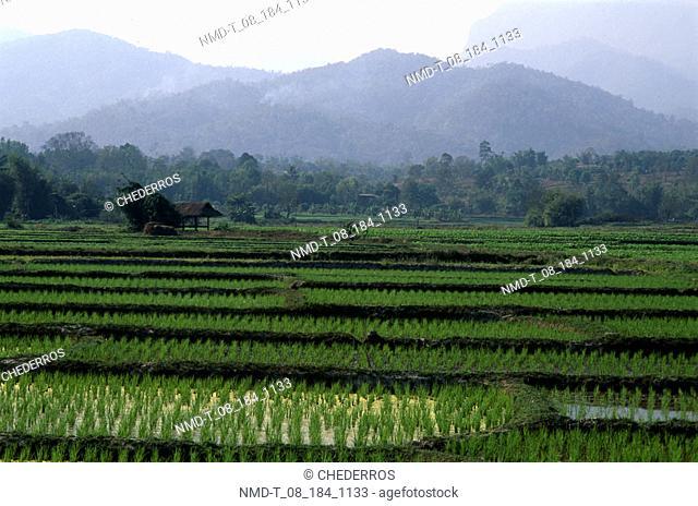 Rice crop in a field, Thailand