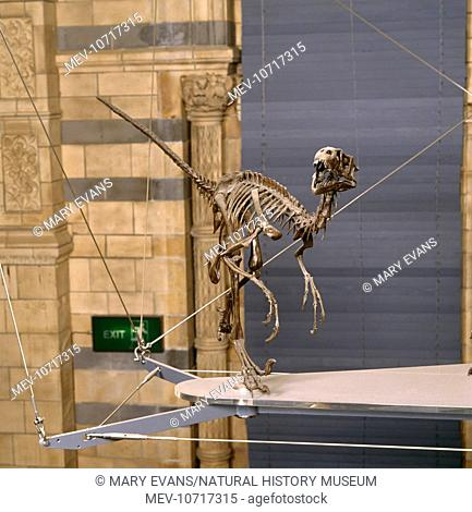 The skeleton of a Dromaeosaurus, a small fast predatory dinosaur with sharp teeth and a large claw on each foot. The lived during the Upper Cretaceous 76 to 72...