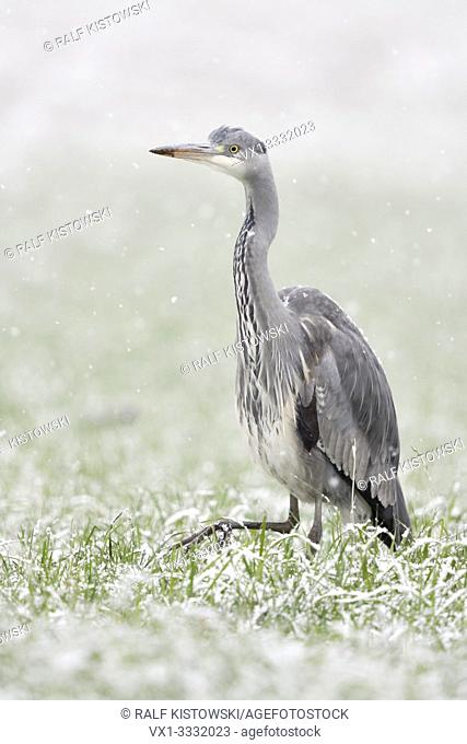 Grey Heron / Graureiher ( Ardea cinerea ) walking, striding through a snow covered field of winter wheat, in heavy snowfall, looks funny, wildlife, Europe