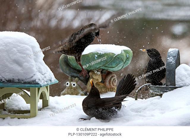 Common Starlings / European Starling Sturnus vulgaris fighting with Common Blackbird Turdus merula at bird feeder in garden during snow shower in winter