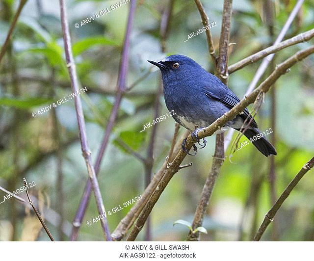 Sholicola (Myiomela) albiventris (White-bellied Blue Robin)