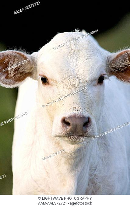 Charolais calf, Coastal Bend, Texas