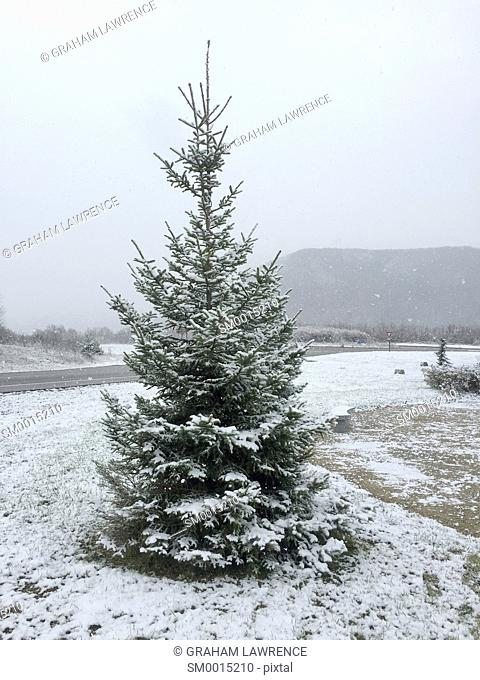 Fir tree covered with snow, Savoie, France, Europe