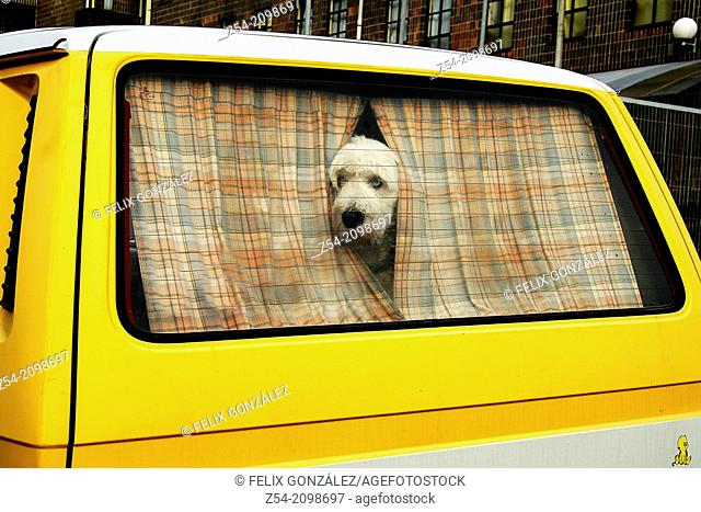 English sheep dog in a volkswagen van, Aviles, Asturias, Spain