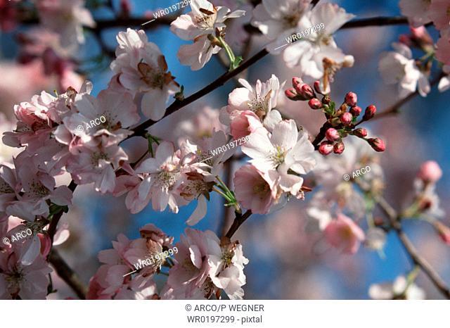 Cherry, blossom, Prunus, x, yedoensis