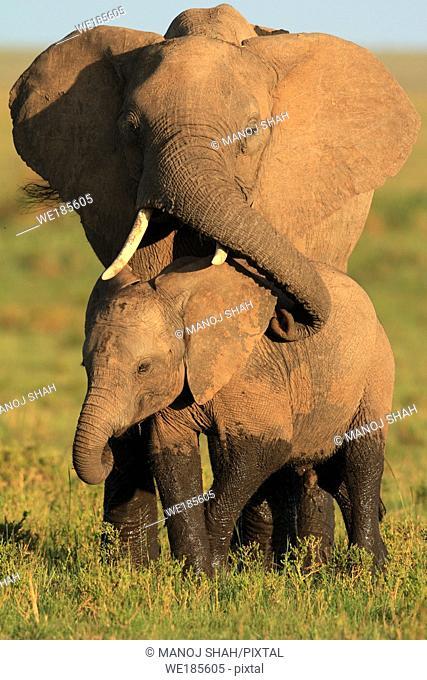 Mother and baby african elephant, Masai Mara National reserve, Kenya