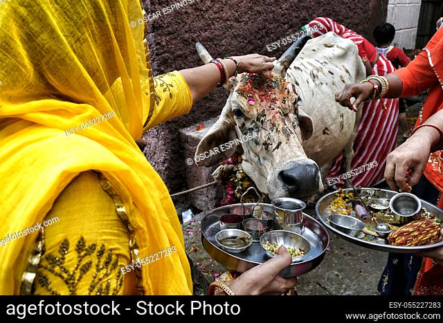 Jodhpur, India - August 2020: Women making an offering to a cow in the city of Jodhpur in the state of Rajasthan on August 16, 2020 in India