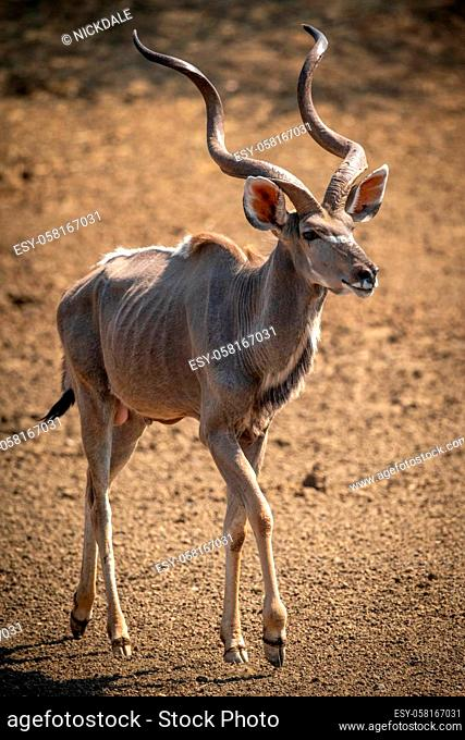 Male greater kudu walks over bare earth