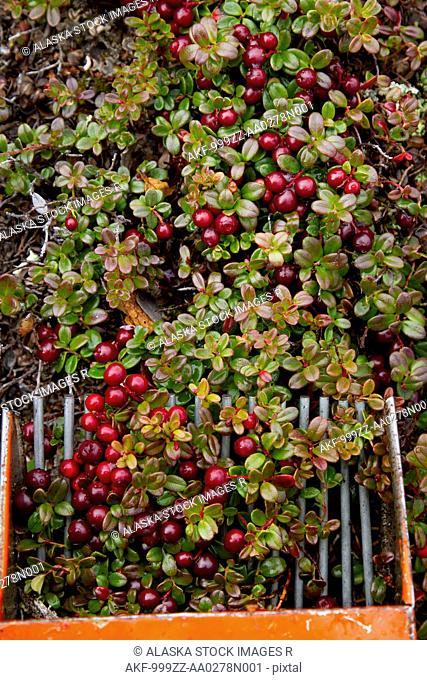 Close up of a berry picker scooping Low Bush cranberries, Interior Alaska, Autumn
