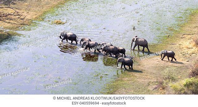 Elephant family crossing water in the Okavango delta (Botswana), aerial shot