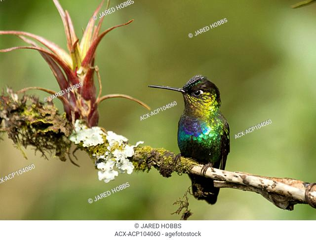 Fiery-throated hummingbird, Panterpe insignis, Central America, Costa Rica