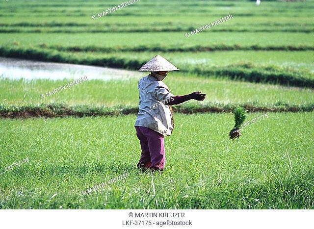 Woman wearing a hat in a rice field, Danang, Vietnam