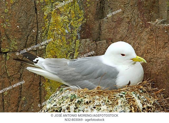 Kittiwake Rissa tridactyla  Scotland  UK