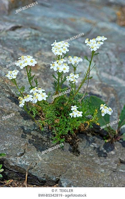 Dark Stemmed Sneezewort (Achillea atrata), blooming on a rock, Germany