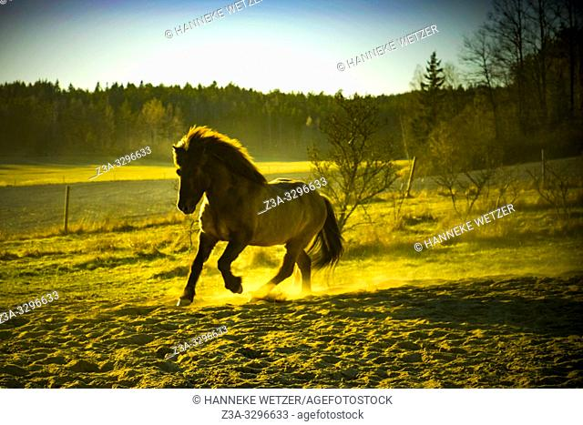 Galloping horse on the cuntryside of Sweden