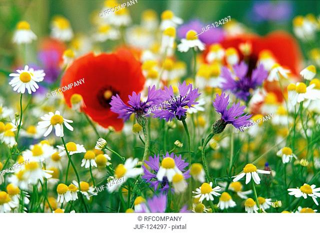 marguerites, poppies and cornflowers