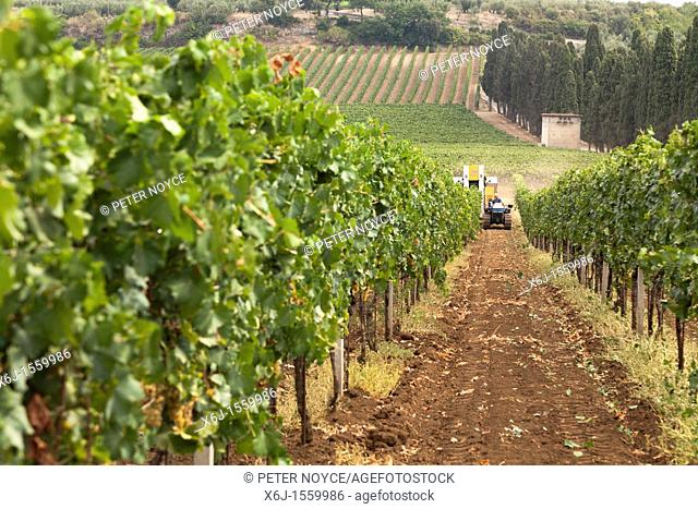 rows on vines with a mechanical harvester in the distance harvesting the wine grapes in Frascati, Italy