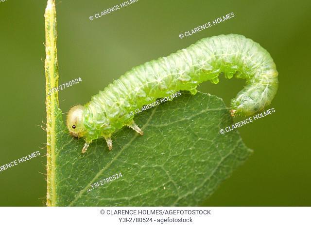 A Locust Sawfly (Nematus tibialis) larva eats a black locust tree leaf