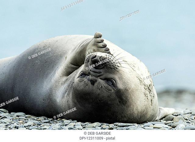 Weddell seal (Leptonychotes weddellii); Half Moon Island, South Shetlands, Antarctica