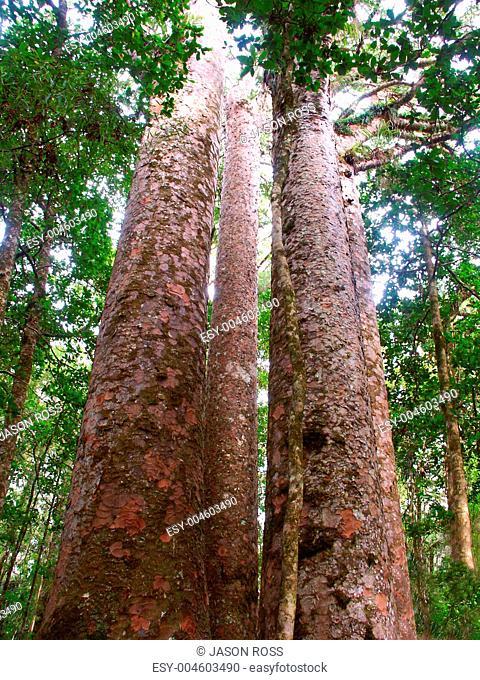 Kauri Tree - Waipoua Forest