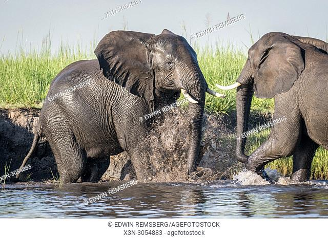 Two elephants stir up water while engaging in play in the Chobe River. Chobe National Park - Botswana