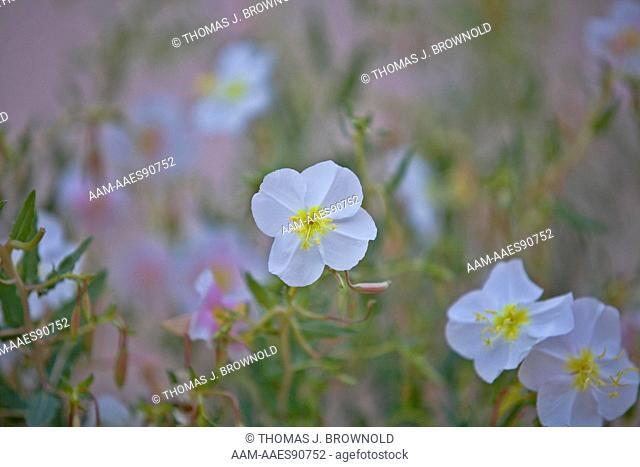 Pale Evening Primrose Bloom, Grand Canyon