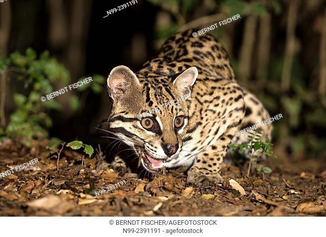 Ocelot (Leopardus pardalis), at the edge of riverine forest, Mato Grosso do Sul, Brazil