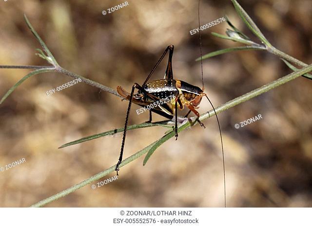 Barbitistes fischeri, Bush cricket