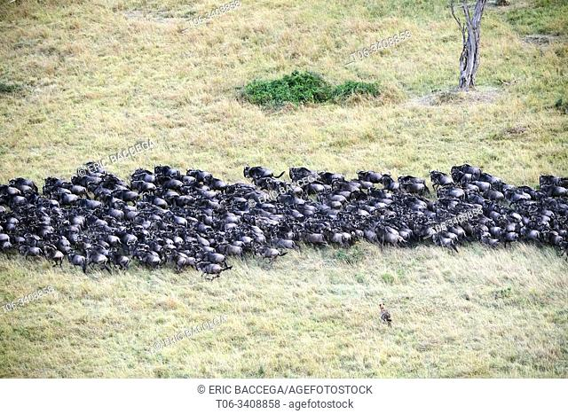 Aerial view of spotted hyaena (Crocutta crocutta) hunting in Eastern White-bearded Wildebeest herd (Connochaetes taurinus) during migration
