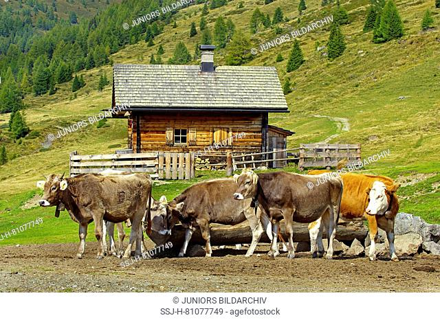 Domestic Cattle, Braunvieh Cattle, Brown Swiss. Three heifers and a Red Holstein heifer next to a water well in front of an alpine hut
