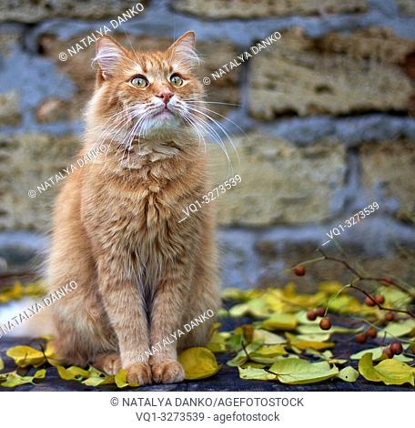 red cat sitting on a wooden surface among yellow leaves in the autumn afternoon