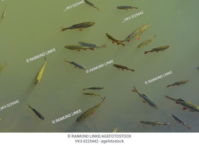 Fish swarm in the pond