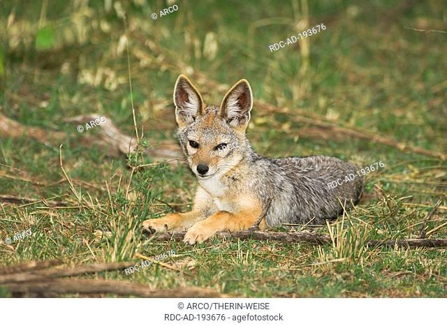 Black-backed Jackal, young, Masai Mara game reserve, Kenya, Canis mesomelas