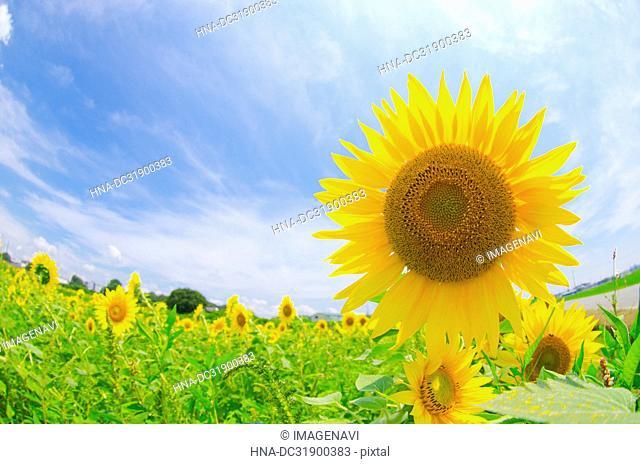 Sunflower and blue sky