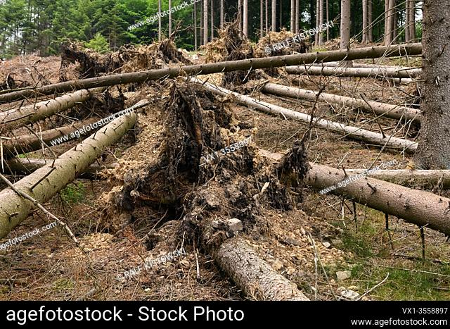 Fallen trees, uprooted spruces after strong winds, storm damages next to a clear cutted area due to forest dieback after bark beetle attack