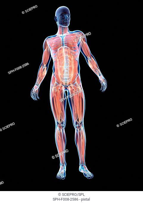 Male musculature, computer artwork