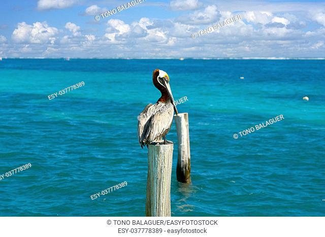 Caribbean Pelican on a beach pole in Mexico Riviera Maya