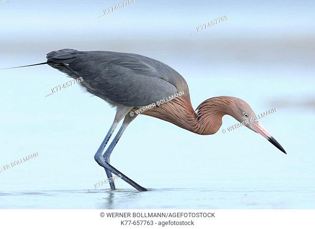 Reddish Egret (Egretta rufescens), dark morph, fishing in a lagoon. Florida, USA