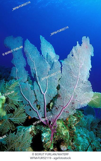 Venus Sea Fan, Gorgonia flabellum, Caribbean, Cuba
