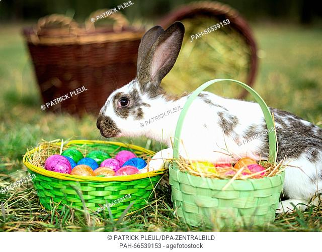 ILLUSTRATION: A rabbit on a meadow and Easter baskets full of colored eggs in Sieversdorf (Brandenburg), Germany, 05 March 2016