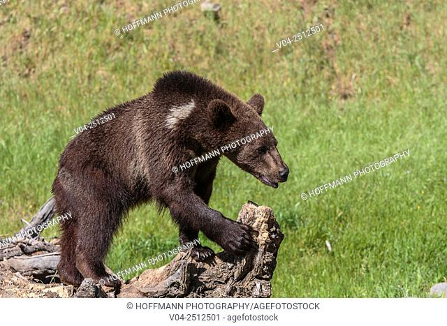 Young grizzly bear (Ursus arctos horribilis) standing on a tree trunk, captive, California, USA