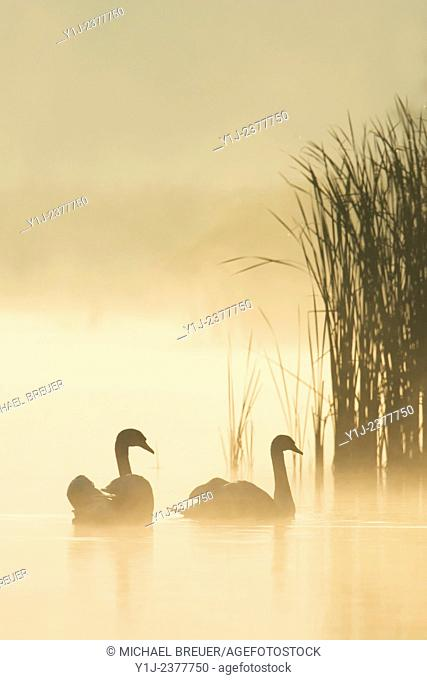 Mute Swans (Cygnus olor) on Misty Lake, Saxony, Germany, Europe