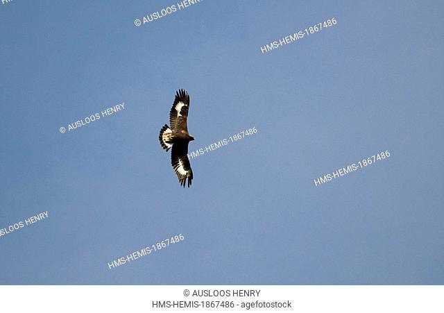 Golden Eagle (Aquila chrysaetos) juvenile, in flight