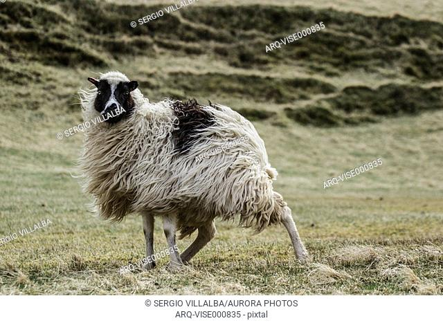 A Sheep In The Wind On The Island Of Sandur, Faroe Islands