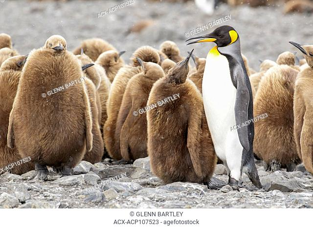 King Penguin feeding it's chick (Aptenodytes patagonicus) on a rocky beach on South Georgia Island