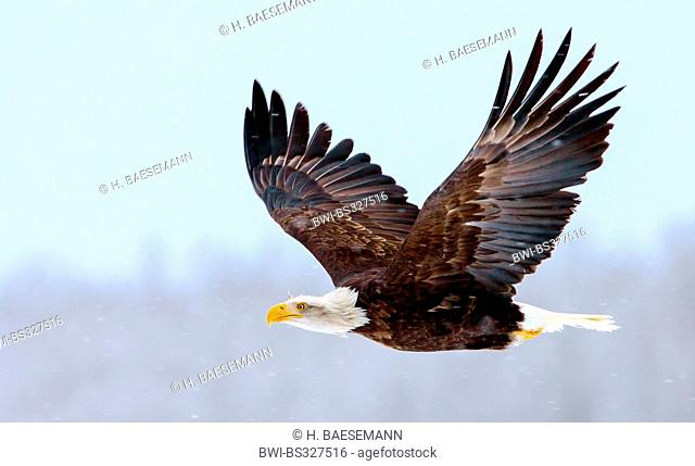 American bald eagle (Haliaeetus leucocephalus), in flight, USA, Alaska, Chilkat Bald Eagles Preserve, Haines