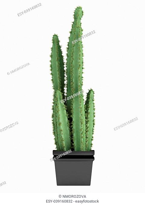 Pilosocereus cactus or columnar hairy cactus, which has hairy areoles with golden spines growing in a container as a houseplant isolated on white