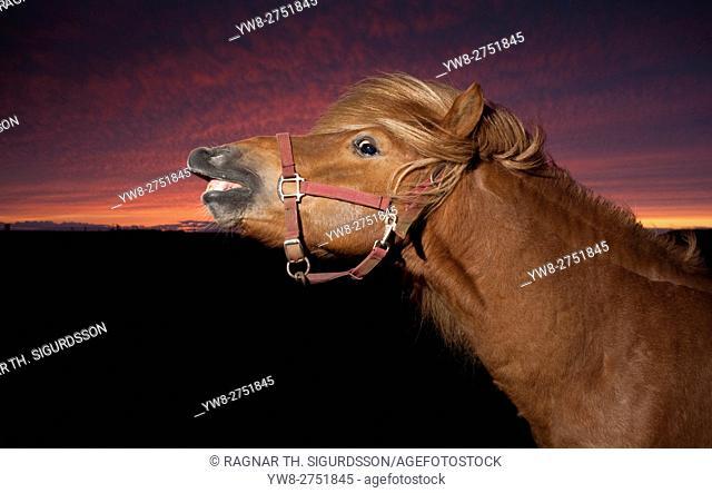 Icelandic horse at sunset, Icealnd